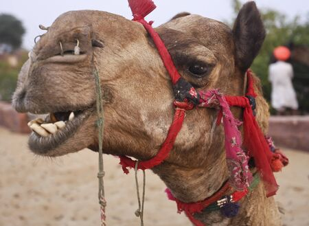 Camel in desert Oasis India Stock Photo