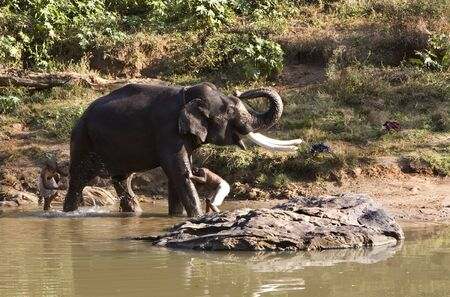 Indian Elephant getting a bath in Mudhumalai Wildlife Reserve Stock Photo