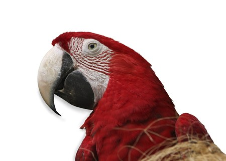 Parrot on white background Stock Photo - 4451567