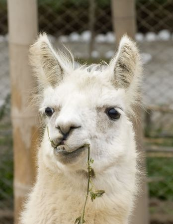 White Llama with a funny look