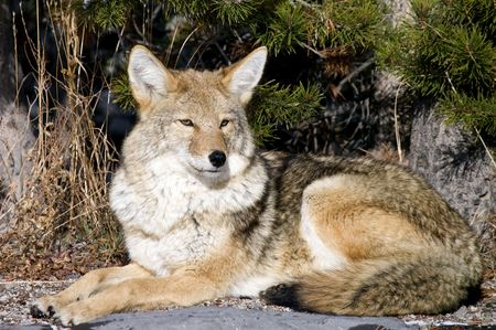 Coyote resting after hunting for a mouse