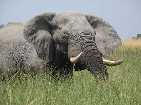 Elephant in the Okavango Delta Botswana