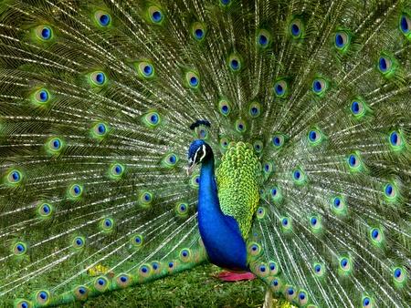 A vibrant peacock strutting his stuff
