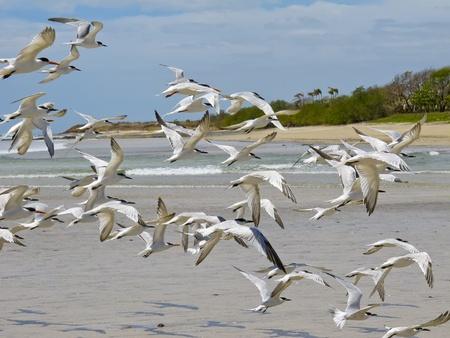 america centrale: Gabbiani sulla spiaggia a Tamarindo, Costa Rica, America Centrale