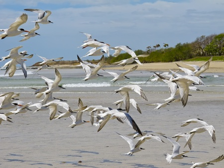 Seagulls on beach at Tamarindo, Costa Rica, Central America