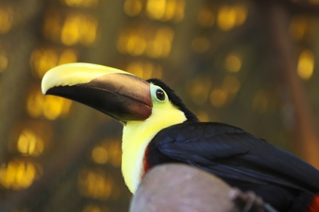 Chestnut-mandibled Toucan in Costa Rica, Central America Stock Photo