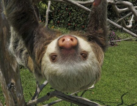 Two-Toed Sloth wondered close to town in Costa Rica, Central America