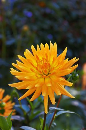 Flower of a yellow aster Stock Photo - 2087477