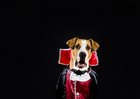 dressed up: Dog in halloween costume dressed up as vampire