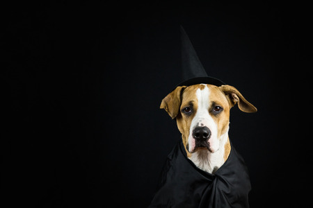 Dog in halloween costume of witch with hat