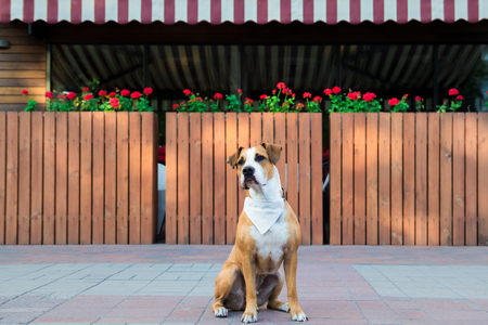 Patient dog in bandana waiting outside a restaurant