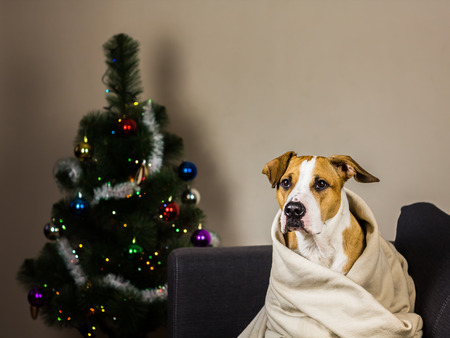 fur tree: Puppy on couch in throw blanket in front of fur tree. Staffordshire terrier dog sits on sofa in plaid in front of decorated new year pine tree at home Stock Photo