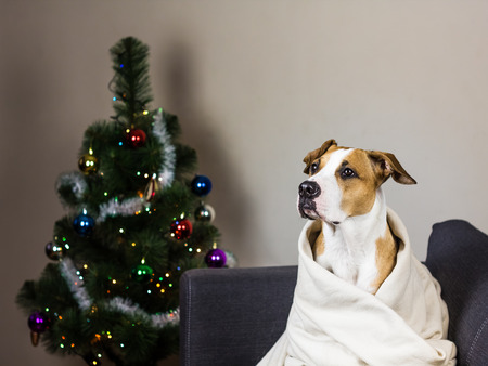 fur tree: Dog on sofa and christmas fur tree. Staffordshire terrier puppy sits on couch in throw blanket in front of decorated new year pine tree at home Stock Photo
