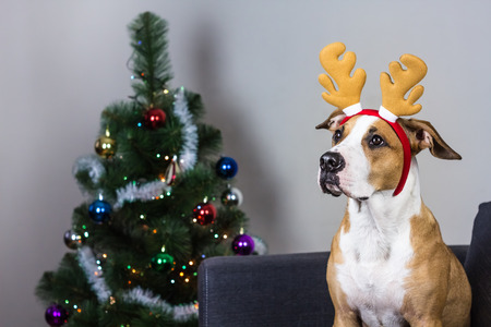 fur tree: Dog in christmas reindeer headband and fur tree. Staffordshire terrier puppy sitting on sofa with masquerade deer horns headband on its head in front of decorated christmas tree