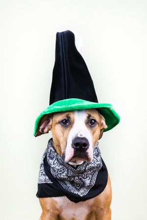 patrics: Dog in St. Patricks Day hat. Staffordshire terrier puppy dressed up in green hat and bandana posing in white background
