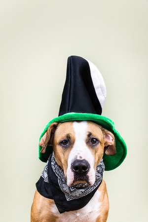 patrics: Dog portrait in St. Patricks day hat. Staffordshire terrier puppy dressed up in green hat and bandana posing in white background