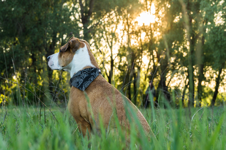 Dog in bandana sits in tall grass. American staffordshire terrier puppy in nature at sunset