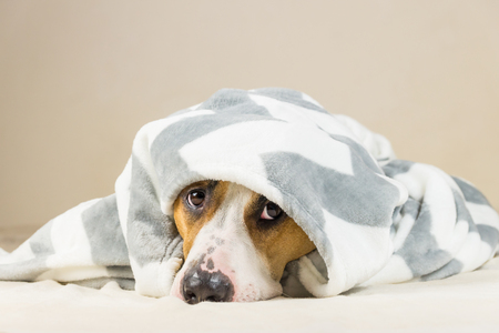 Shy puppy in warm throw blanket rests in bedroom. Young staffordshire terrier dog on couch after bath or shower looks up in funny way Фото со стока