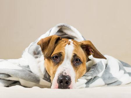 Funny puppy in warm throw blanket rests in bedroom. Young staffordshire terrier dog on couch after bath or shower wrapped in beautiful plaid