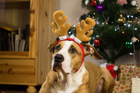 Staffordshire terrier dog dressed up for winter holidays in living room next to christmas tree and gifts wrapped in packpaper Stock Photo