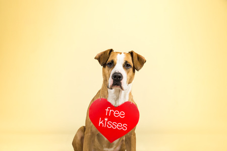 Staffordshire terrier puppy poses in colorful yellow studio background with valentine's day sign on shoulders
