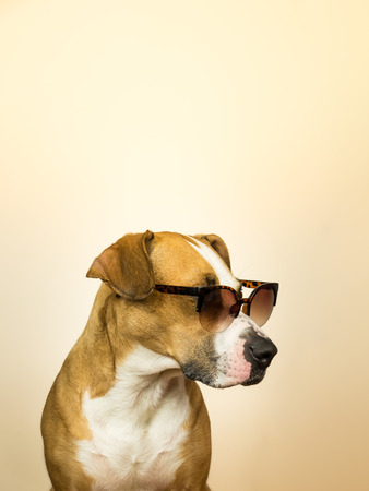 Funny staffordshire terrier dog in sunglasses. Studio photo of pitbull terrier puppy in summer shades posing in front of neutral background