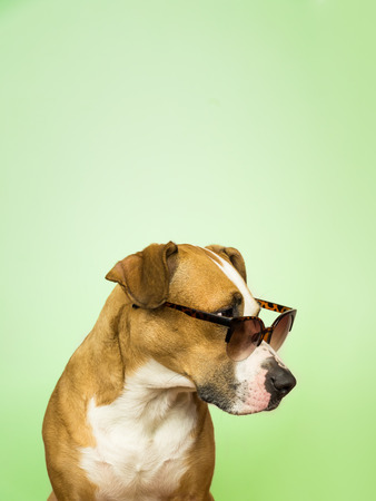 Funny staffordshire terrier dog in sunglasses. Studio photo of pitbull terrier puppy in summer eyeglasses posing in front of light green background