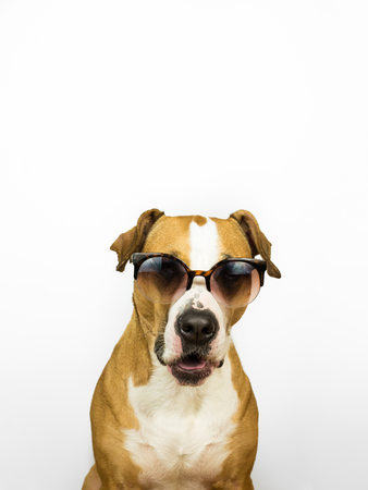 Funny staffordshire terrier dog in sunglasses. Studio photo of pitbull terrier puppy in summer eyeglasses posing in front of neutral background Banco de Imagens