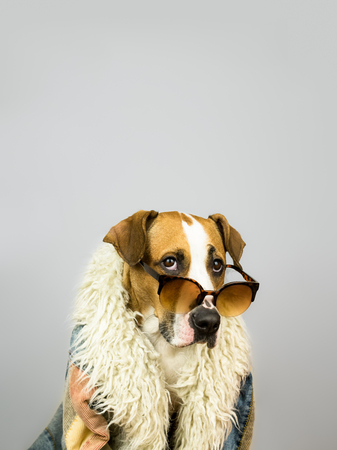 Funny staffordshire terrier dog in sunglasses and hippy coat. Studio photo of pitbull terrier puppy in bright color summer eyeglasses posing in front of grey background Banco de Imagens