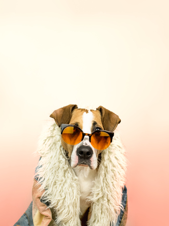 Funny staffordshire terrier dog portrait in sunglasses and hippy coat. Studio photo of pitbull terrier puppy in bright color summer eyeglasses posing in front of pink background