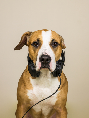 Dog with headphones. Studio portrait of staffordshire terrier puppy posing in neutral background with earphones