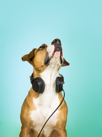 Dog with headphones looks up. Studio portrait of staffordshire terrier puppy posing in neutral background with earphones, concept of music fan Stock Photo