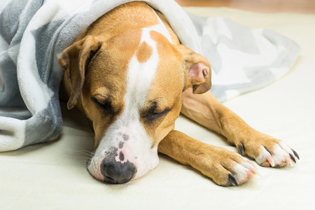 Lazy or sick pet dog relaxing and sleeping in clean white throw blanket. Sleepy staffordshire terrier dog covered in plaid resting indoors in tidy minimalistic bed