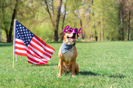 USA independence day and dog concept. Cheerful and happy staffordshire terrier dog in cool masquerade eyeglasses sits at lawn in front of the USA flag in park Stock Photo