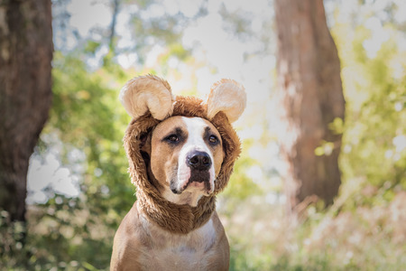 Beautiful dog portrait in bear hat photographed outdoors. Cute staffordshire terrier sits in wild animal costume in sunny meadow Banque d'images - 106751213