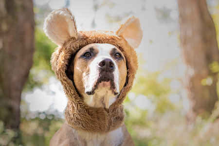 Beautiful dog portrait in bear hat photographed outdoors. Cute staffordshire terrier sits in wild animal costume in sunny meadow
