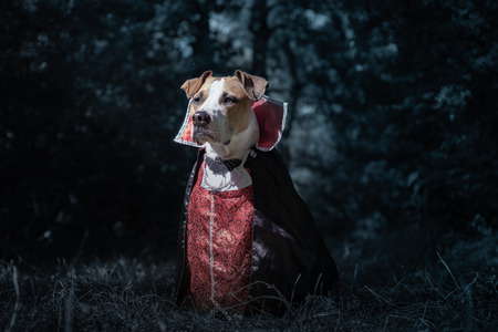 Beautiful dog dressed up as vampire in dark moonlit forest. Cute staffordshire terrier puppy in halloween costume of scary vampire in the woods, shot in low key
