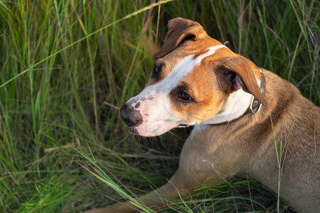 Staffordshire terrier dog portrait in natural park. Cute mixed breed puppy laying in green grass in rural area on nice summer afternoon