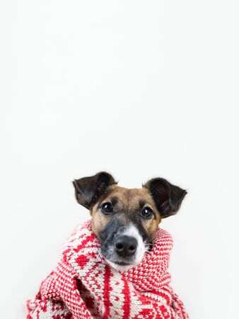 Cute little puppy in white and red winter scarf. Portrait of young fox terrier dog in winter clothes at studio background Archivio Fotografico