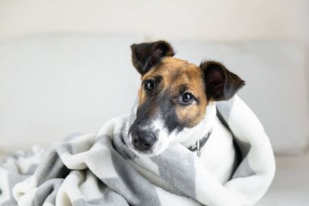 Smooth fox terrier puppy in cozy blanket. Cute little dog in throw plaid lying in bed at home Archivio Fotografico
