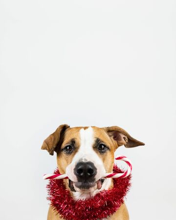 Winter holidays concept: dog holds a candy cane in mouth. Cute pet with Christmas treat in white background with copy space above