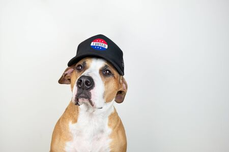 American election activism concept: staffordshire terrier dog in patriotic baseball hat.  Pitbull terrier in trucker hat with