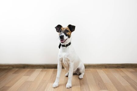 Cute and funny smooth fox terrier puppy sits on the floor. Trained young dog at home posing in white background indoors