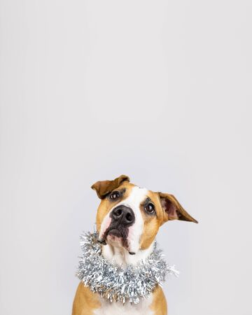 Cute beautiful dog in christmas tinsel around neck. Portrait of staffordshire terrier in white background with new year decoartion
