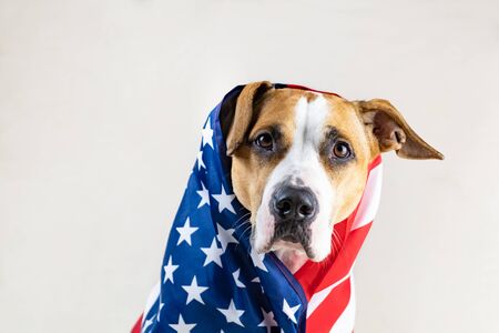American patriotic dog portrait. Funny staffordhire terrier wrapped in USA flag in studio background