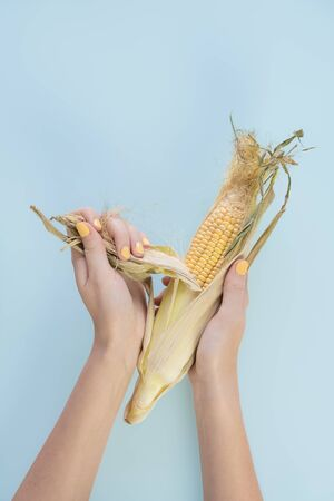 Corn cnob in female hands, pale blue background. Abstract image of woman fingers with yellow fingernails peeling ear of corn Banco de Imagens