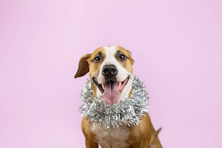 Cute beautiful dog in christmas tinsel around neck, pink background. Portrait of staffordshire terrier with new year decoartion