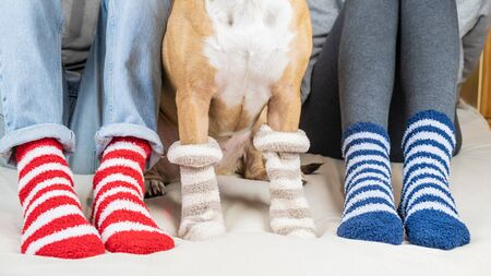Staffordshire terrier and two people sitting on the bed wearing similar striped socks. Pet owners and dog in colorful socks sitting on  in bedroom, concept of a dog as a family member.