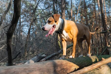 Dog in the forest standing on a log.Hero shot of a mixed breed dog at a forest walk in direct sunlight