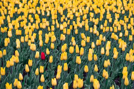 Field of yellow tulips and one red tulip. Black sheep, outsider concept: one red flower in the field of yellow flowers.